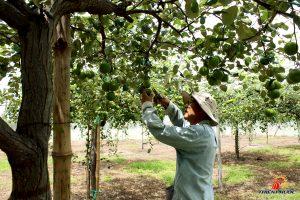 trồng táo trong nhà lưới